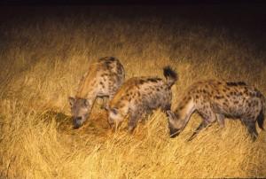 ***Hyenas at night**** Photo Stan Trollip