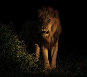 *****Lion****** Photo: Aron Frankental